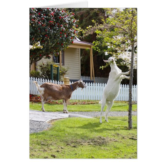 Goat Eating From Tree Card