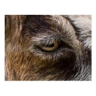 Goat eye postcard