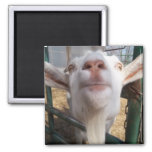 Goat Face 2 Inch Square Magnet