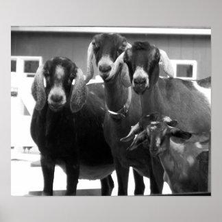 Goat Family Black and White Poster