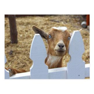 Goat Greetings Postcard