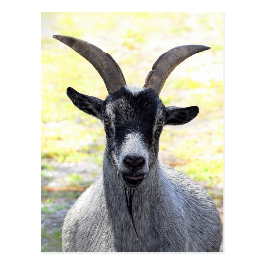 Goat Head Postcard
