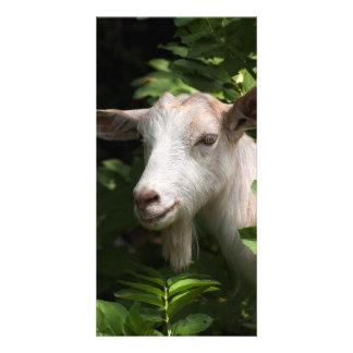 Goat looking at camera card