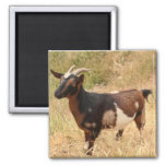 Goat Picture Magnets