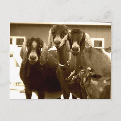 Goat Postcard postcard