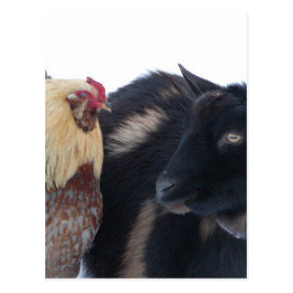 GOAT &ROOSTER FRIENDS IN SNOW POSTCARD