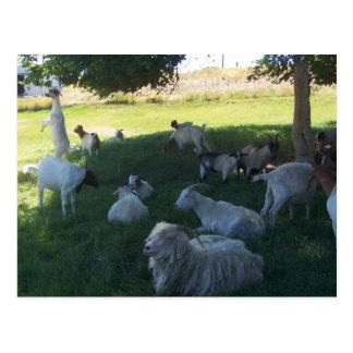 Goat Siesta Postcard