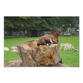Goat Sitting Trunk Of Tree Posters