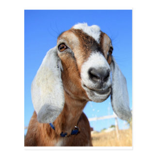 Goat star 1.jpg postcard