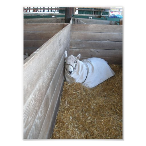 Goat with a Coat in Barn Stall Photo Print