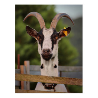 Goat with Horns Standing up against Fence Postcard