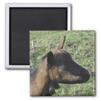 Goat with toggles 2 inch square magnet