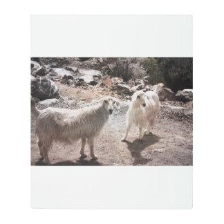 goats 1 metal print