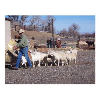 Goats follow the grain postcard
