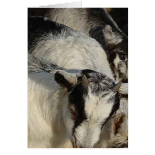 Goats, Goats, and More Goats Greeting Card