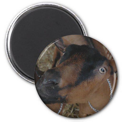 goats magnets