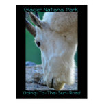 Goats on Going-to-the-sun-road in Glacier National Post Cards