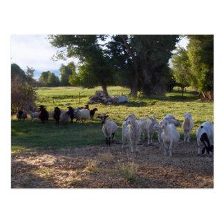 Goats Vs Sheep Postcard