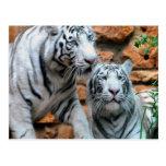 Goce de tigres del blanco de Haifa de la paz y del Postales