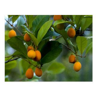 Goetzea Elegans Fruit Postcard
