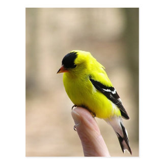 Gold Finch on My Finger Post Cards