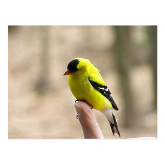 Gold Finch on My Finger Postcards