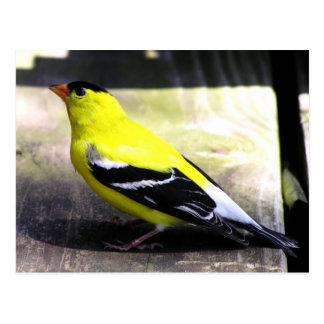 Gold Finch Postcard