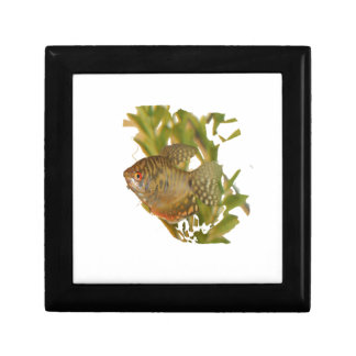 Gold Gourami Freshwater Fish With Green Trinket Boxes