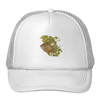 Gold Gourami Freshwater Fish With Green Trucker Hat