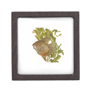 Gold Gourami Freshwater Fish With Green Jewelry Box