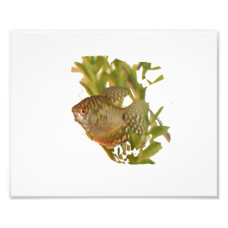 Gold Gourami Freshwater Fish With Green Art Photo