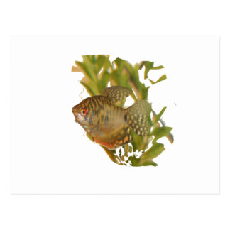 Gold Gourami Freshwater Fish With Green Postcard