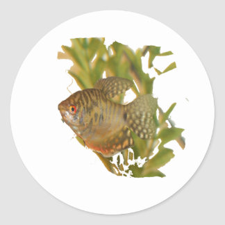 Gold Gourami Freshwater Fish With Green Round Stickers