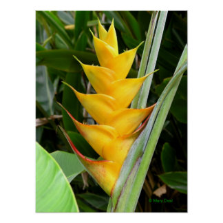 Gold Heliconia Poster