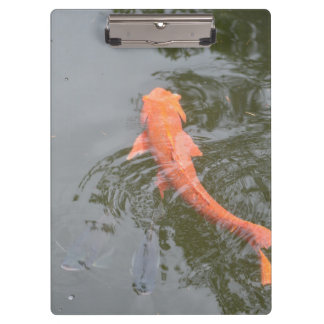gold koi in pond with cichlids fish image picture clipboard