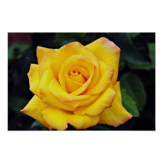 Gold medal Grandiflora Rose, 'Aroyqueli' White flo Poster