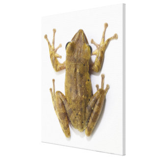 Gold tree frog canvas print