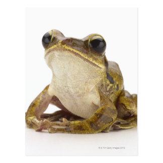 Gold tree frog postcard