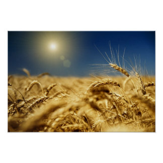 Gold wheat and blue sky with sun poster
