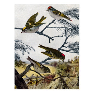 Golden and Ruby-Crowned Kinglets Postcard
