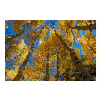 Golden Aspen Near Estes Park Colorado Poster