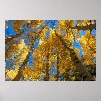 Golden Aspen Near Estes Park Colorado Poster