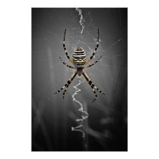 Golden Banded Garden Spider Posters