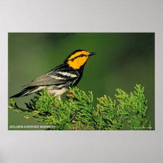 Golden-Cheeked Warbler Poster