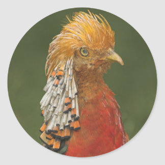 Golden/Chinese Pheasant Stickers