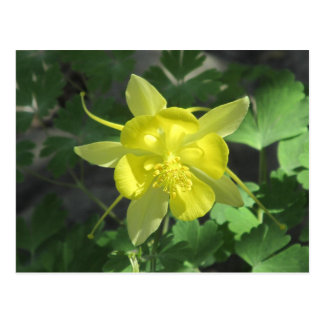 Golden Columbine Flower Postcard