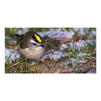 Golden-crowned Kinglet Card