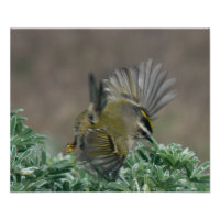 Golden-crowned Kinglet Print