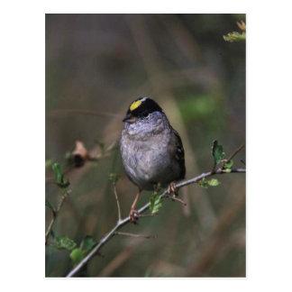 Golden-crowned Sparrow Postcard