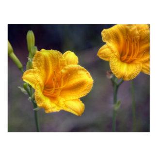 Golden Daffodil Postcard